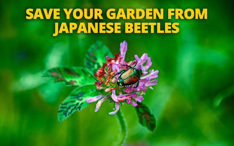 How to Fight Off Those Pesky Japanese Beetles